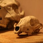 crâne à la Brocante du Prieuré de Chichée près de Chablis