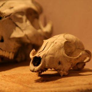crâne à la Brocante de la Pointe Minard de Plouézec, près de Paimpol