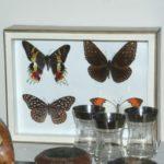 collection de papillons à la Brocante de la Pointe Minard de Chichée près de Chablis
