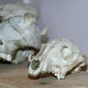 crâne de renard à la Brocante de la Pointe Minard de Chichée près de Chablis